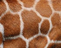 毛皮长颈鹿纹理 免版税库存照片