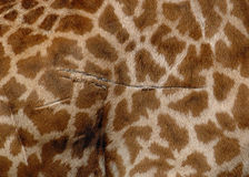 毛皮长颈鹿 免版税库存照片