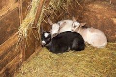 毛纱的羊毛剪的绵羊 库存图片