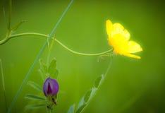 毛茛和巢菜属植物 免版税图库摄影