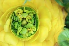 毛茛属黄色 库存照片