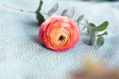 毛茛花束在绿松石毛线衣的 免版税图库摄影