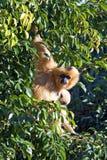 毛茸的停止的查找的猴子奇怪的结构树 免版税库存照片