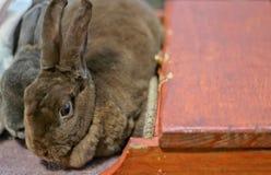 毛茸的兔子 免版税库存照片
