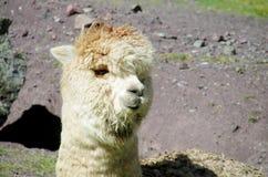 毛茸的喇嘛和羊魄画象 免版税库存照片