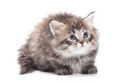 毛茸的小猫西伯利亚人 免版税库存图片