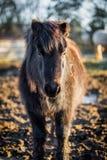 毛茸的小马身分画象在被犁的领域的 图库摄影