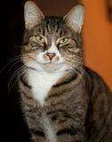 毛茸的布朗猫 免版税图库摄影