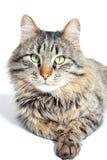 毛茸的成人猫 免版税库存图片