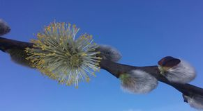 毛茸的春天柔荑花 免版税库存图片