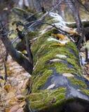 毛茸的树桩 库存图片
