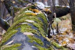 毛茸的树桩 免版税库存照片