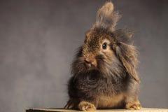 毛茸的棕色狮子头兔子兔宝宝开会 免版税库存照片