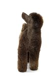 毛茸的狗 免版税库存图片