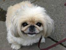毛茸的狗 免版税库存照片