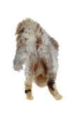 毛茸的猫尾巴 免版税库存图片