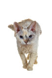 毛茸的猫 库存照片