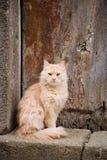 毛茸的红色猫 库存图片