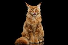 毛茸的红色缅因树狸猫开会和舔,被隔绝的黑色 免版税库存图片