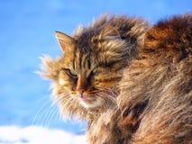 毛茸的滑稽的猫显示在蓝色背景的舌头 免版税库存图片