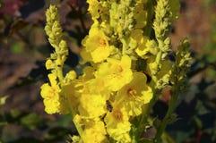 毛蕊花,共同的名字mullein 库存照片