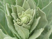 毛蕊花Thapsus,巨大mullein或者共同的mullein 免版税库存照片