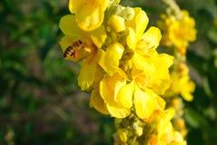 毛蕊花thapsus 共同的mullein黄色花  免版税库存照片