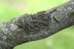 毛虫侍从在树的飞蛾群 库存图片