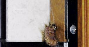 毛虫变形在一个国内环境里- 4K录影 股票录像