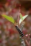 毛虫叶子 免版税库存图片