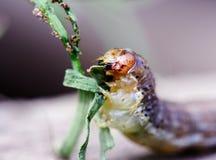 毛虫吃 图库摄影