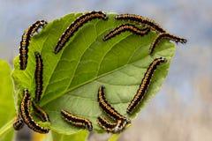 毛虫吞食叶子 库存图片