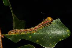 毛虫哺养 免版税图库摄影