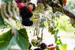毛虫在桑树叶子哺养 虫害吞食桑树的绿色叶子 库存照片