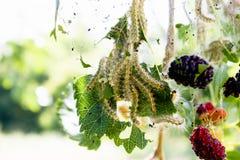 毛虫在桑树叶子哺养 虫害吞食桑树的绿色叶子 免版税库存照片