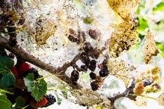 毛虫在桑树叶子哺养 虫害吞食桑树的绿色叶子 免版税图库摄影