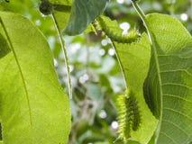 毛虫或Taturanas 库存照片