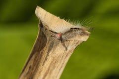 毛虫明显飞蛾丛白色 免版税图库摄影