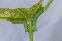 毛虫特写镜头,绿色蠕虫 库存图片