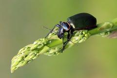 毛虫猎人(Calosoma scrutator) 图库摄影