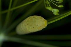 毛虫的宏观照片 库存照片