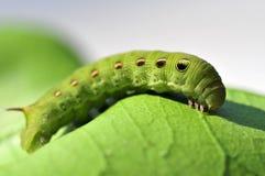 毛虫绿色 免版税库存照片