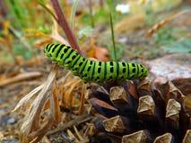 毛虫绿色swallowtail 库存图片