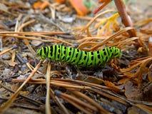 毛虫绿色swallowtail 免版税库存照片