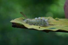 毛虫,在叶子的白色明显的毒蛾 免版税库存照片
