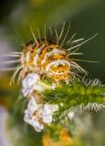 毛虫:鸡血石的飞蛾 免版税库存图片