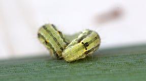 毛虫绿色叶子 库存图片