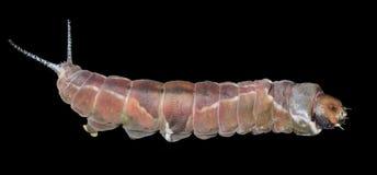 毛虫& x28; Cerura erminea& x29;17 图库摄影