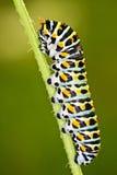 毛虫Papilio machaon 免版税库存照片