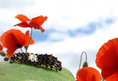 毛虫swallowtail 库存照片